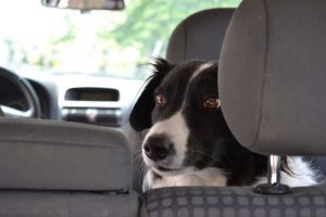 Przewóz zwierząt w taksówce